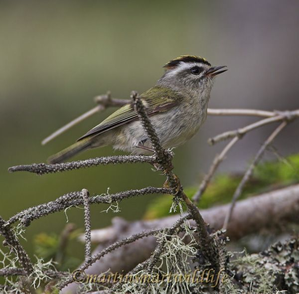 Golden-crowned_Kinglet_5774x.jpg