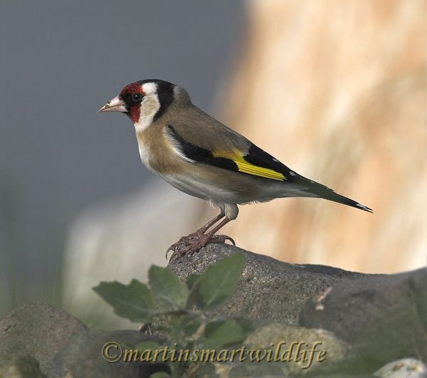 Goldfinch_3067ax.jpg