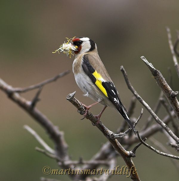 Goldfinch_4121x.jpg
