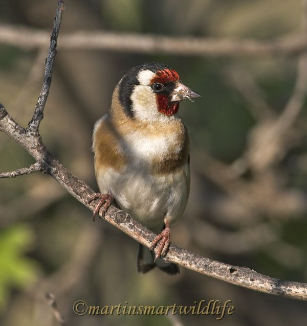 Goldfinch_5249x.jpg