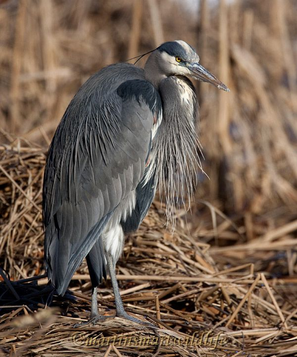 Great_Blue_Heron_0777.jpg
