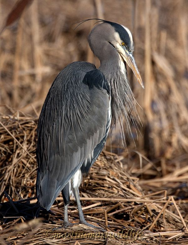Great_Blue_Heron_0779a.jpg