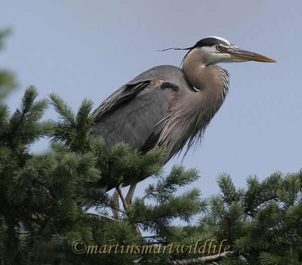 Great_Blue_Heron_5557x.jpg