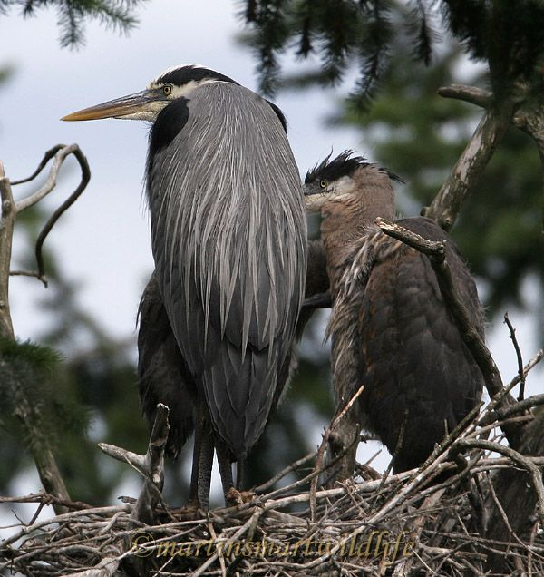 Great_Blue_Heron_5580x.jpg