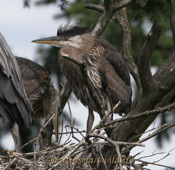 Great_Blue_Heron_5589x.jpg