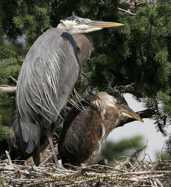 Great_Blue_Heron_5592x.jpg