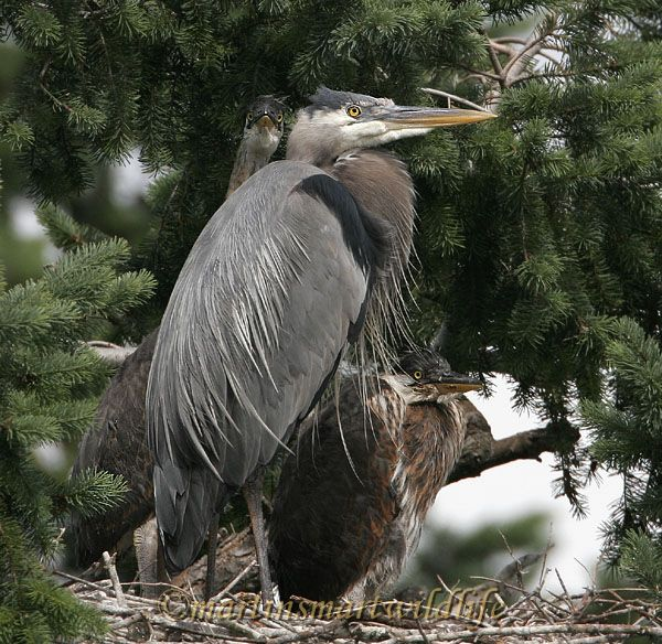 Great_Blue_Heron_5593x.jpg