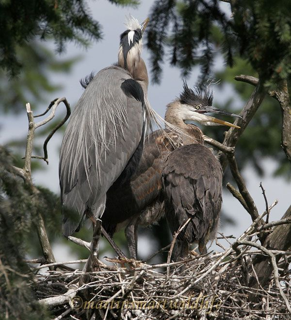 Great_Blue_Heron_5597x.jpg