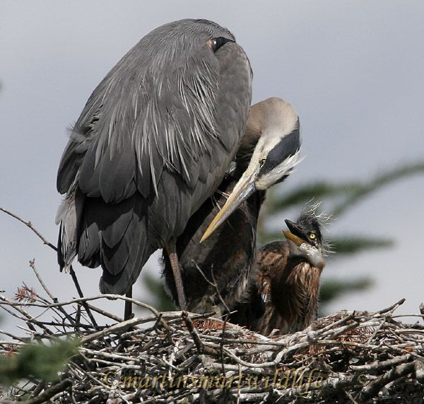 Great_Blue_Heron_5600x.jpg
