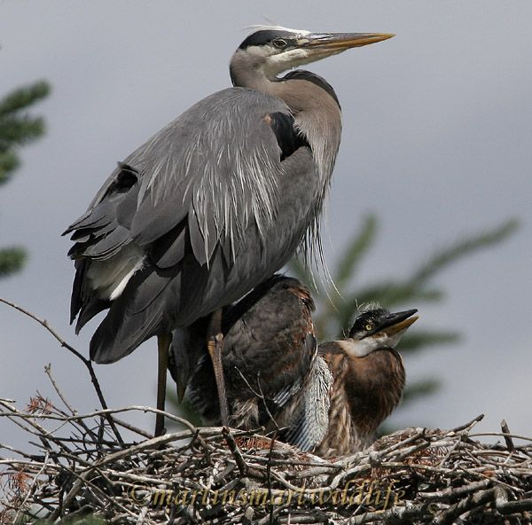 Great_Blue_Heron_5601x.jpg