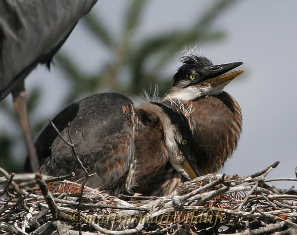 Great_Blue_Heron_5602x.jpg
