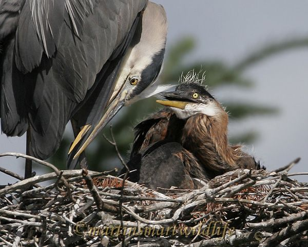 Great_Blue_Heron_5604ax.jpg