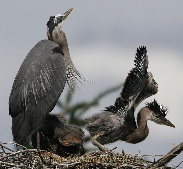 Great_Blue_Heron_5610ax.jpg