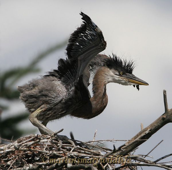 Great_Blue_Heron_5611x.jpg