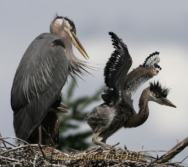 Great_Blue_Heron_5614x.jpg