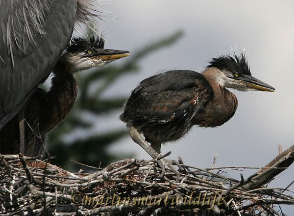 Great_Blue_Heron_5615x.jpg