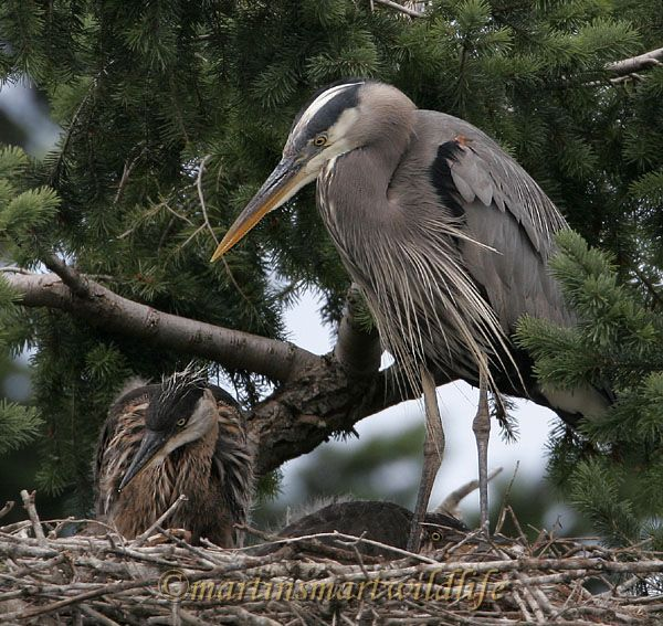 Great_Blue_Heron_5639x.jpg