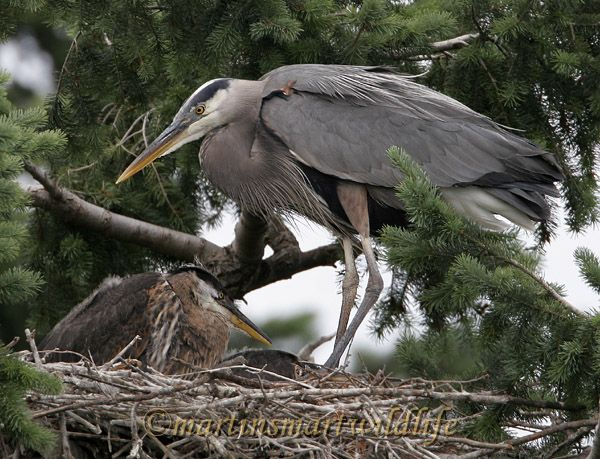 Great_Blue_Heron_5643x.jpg
