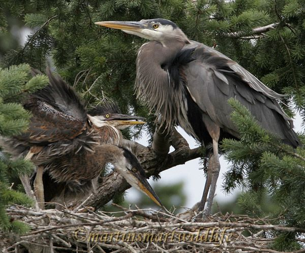 Great_Blue_Heron_5655ax.jpg