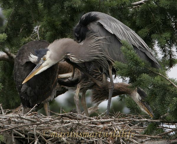 Great_Blue_Heron_5656x.jpg