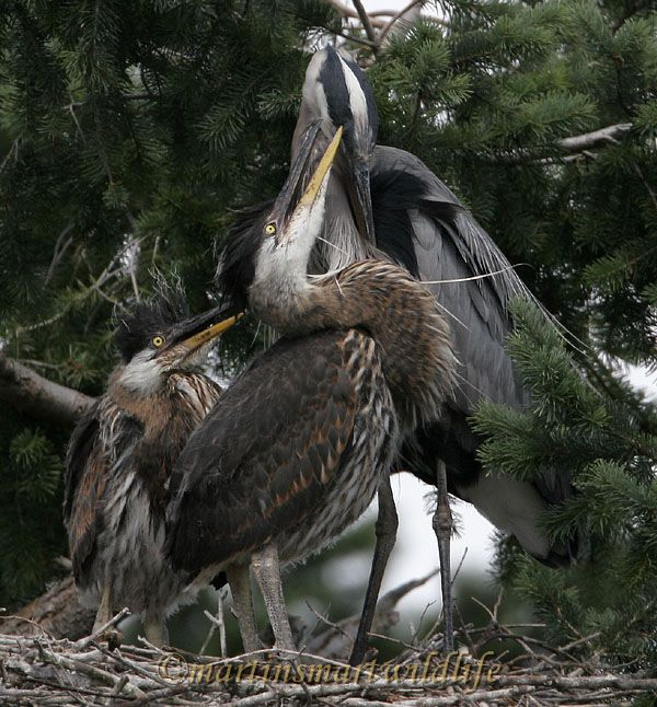 Great_Blue_Heron_5674x.jpg