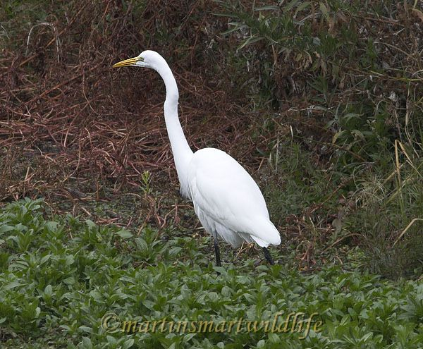 Great_Egret_1393x.jpg
