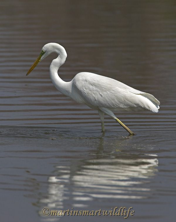 Great_Egret_2822x.jpg