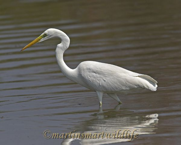 Great_Egret_2829x.jpg