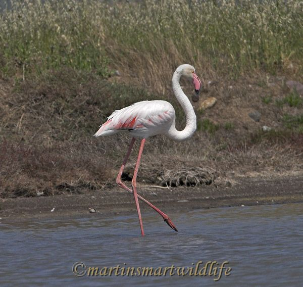 Greater_Flamingo_2729ax.jpg