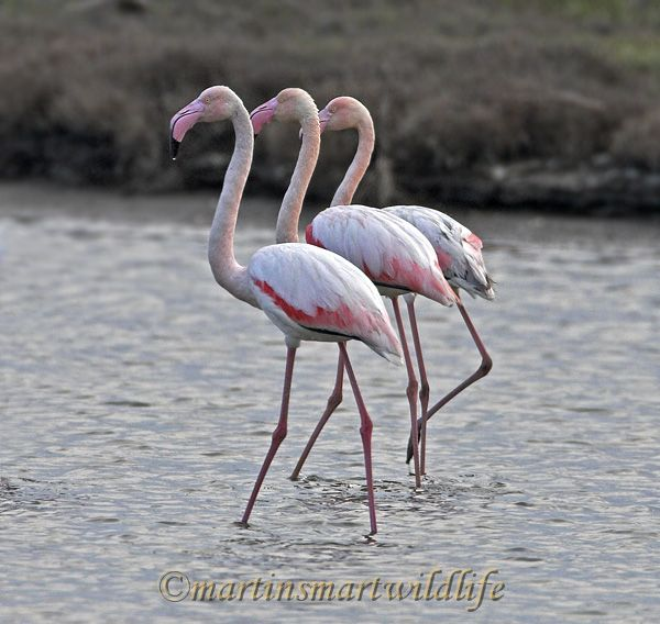 Greater_Flamingo_4307x.jpg