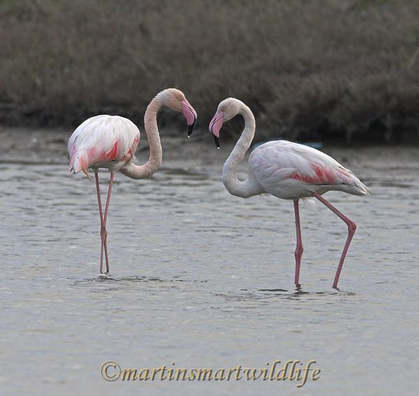 Greater_Flamingo_4316x.jpg