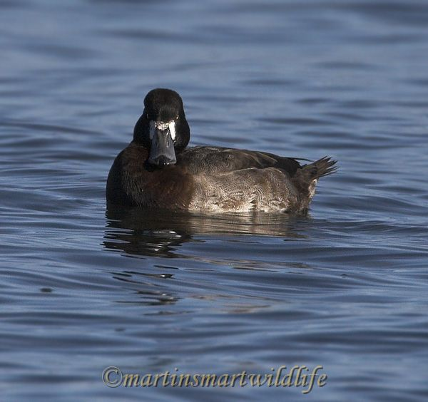 Greater_Scaup_0245x.jpg