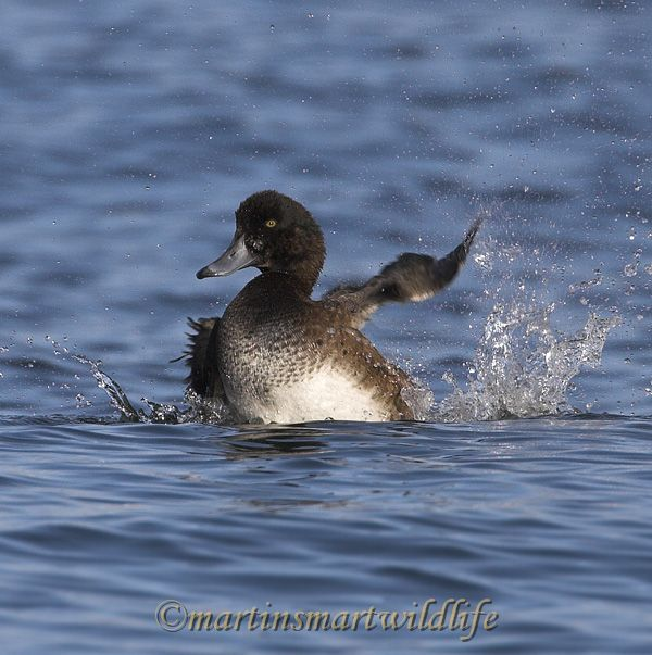 Greater_Scaup_0284x.jpg