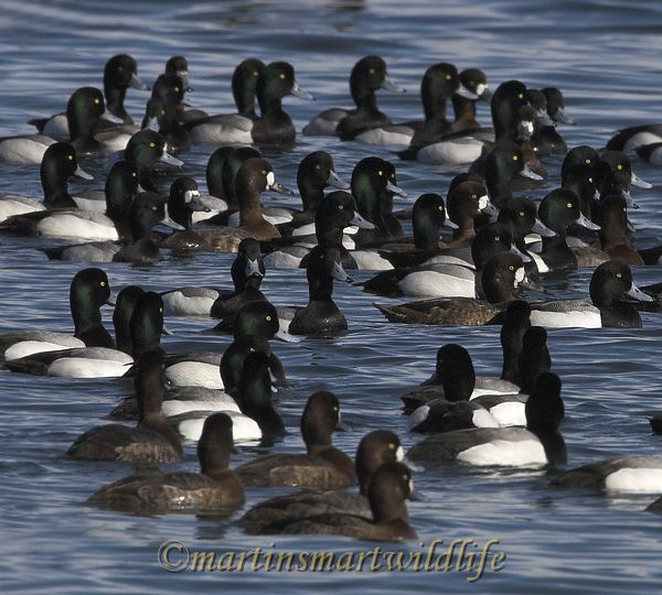 Greater_Scaup_2510.jpg