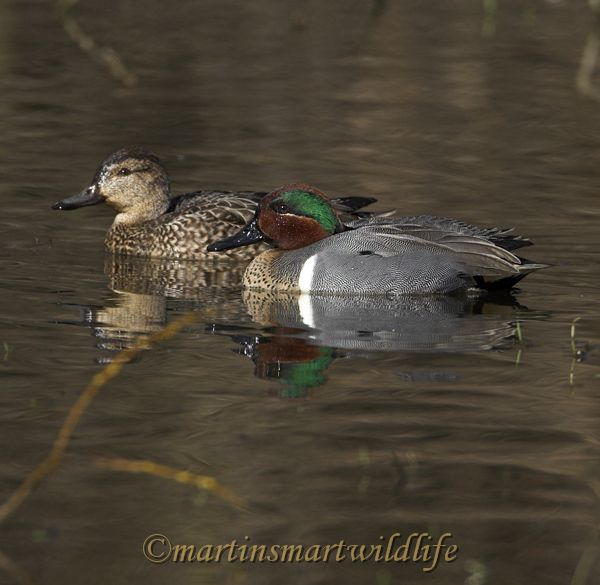 Green-winged_Teal_2695x.jpg