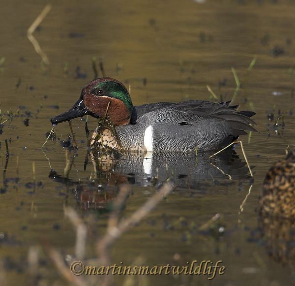 Green-winged_Teal_2710x.jpg