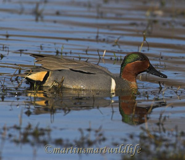 Green-winged_Teal_2723x.jpg