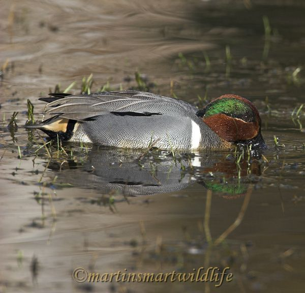 Green-winged_Teal_2725x.jpg