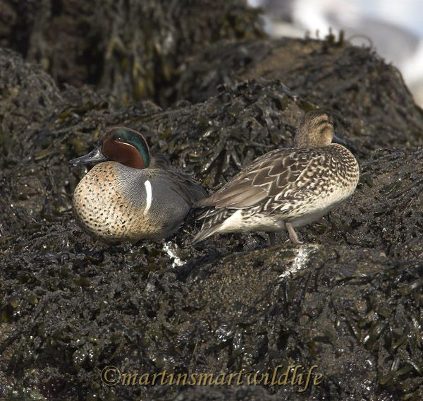 Green-winged_Teal_2950x.jpg