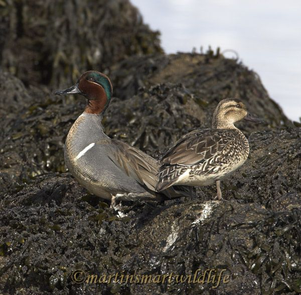 Green-winged_Teal_2957.jpg