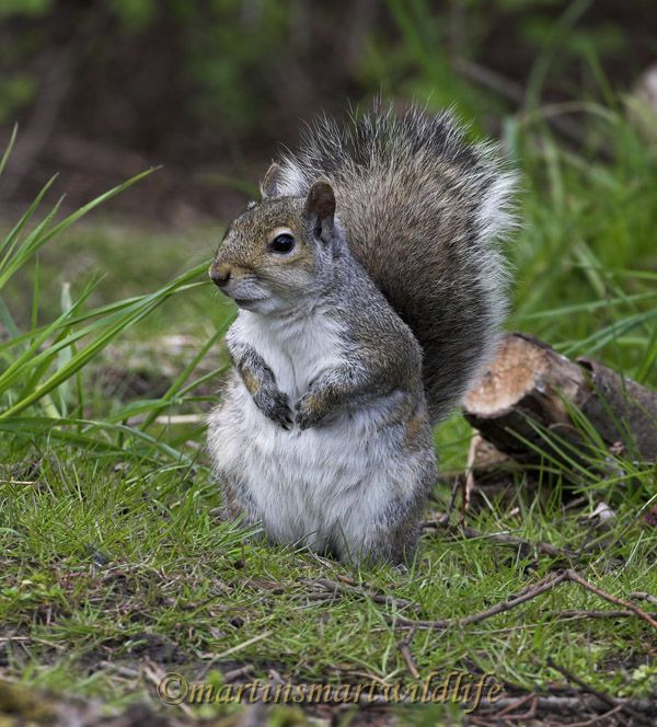 Grey_Squirrel_4314x.jpg