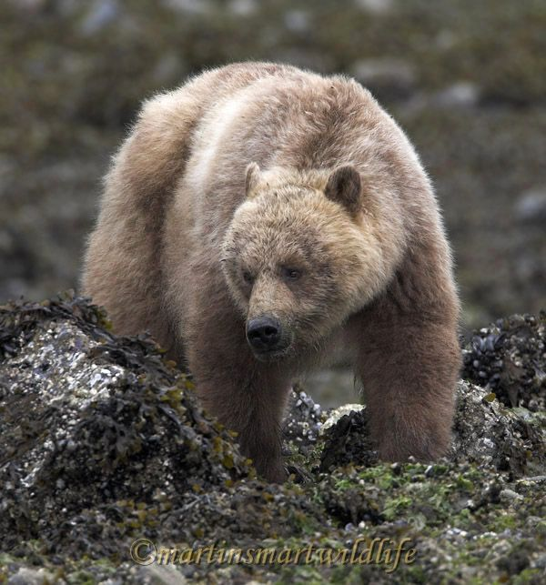 Grizzly_Bear_6580x.jpg