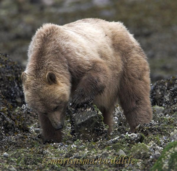 Grizzly_Bear_6588x.jpg
