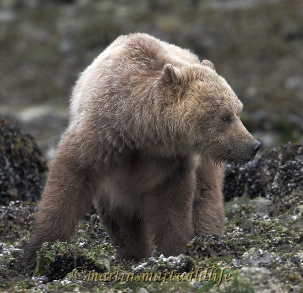 Grizzly_Bear_6589ax.jpg