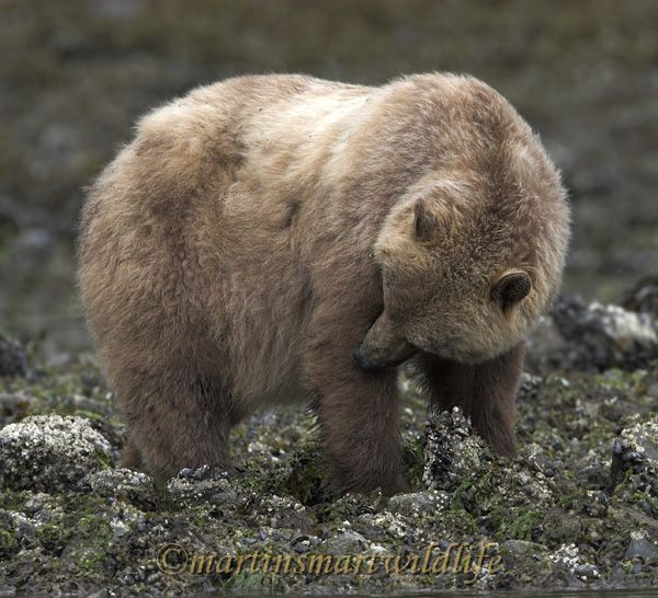 Grizzly_Bear_6609x.jpg