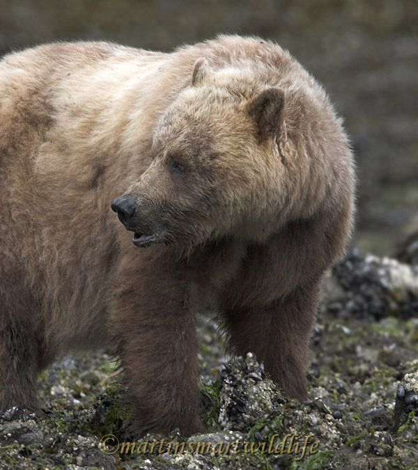 Grizzly_Bear_6610x.jpg