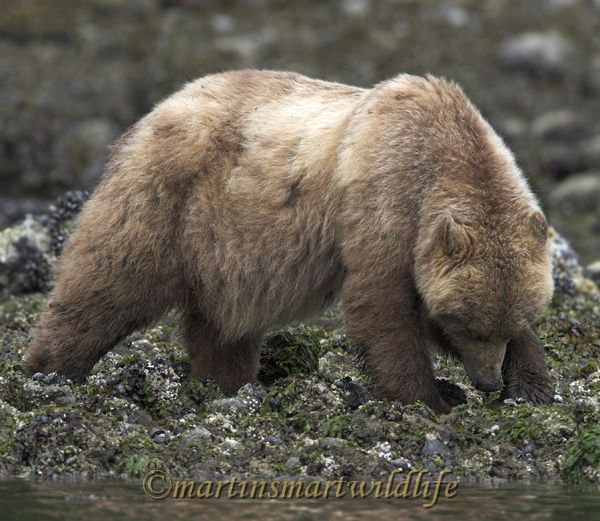 Grizzly_Bear_6623x.jpg