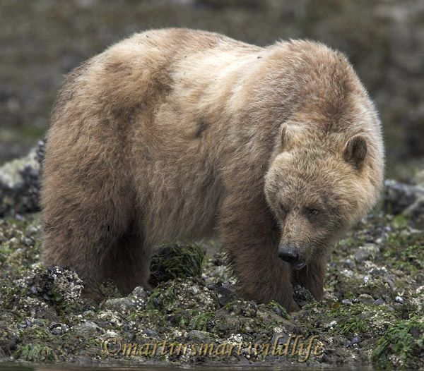 Grizzly_Bear_6624x.jpg