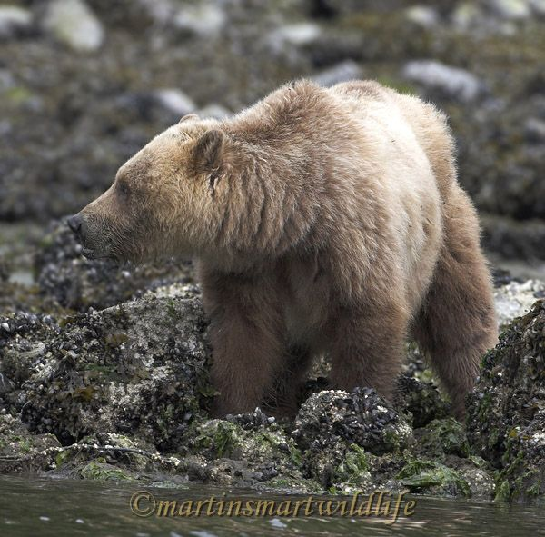 Grizzly_Bear_6659x.jpg