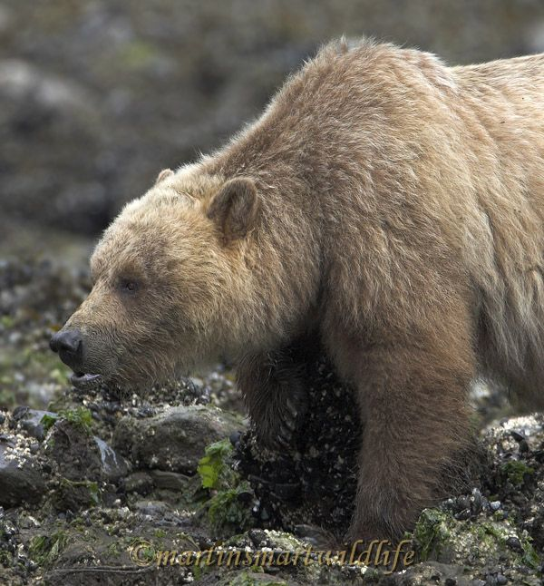 Grizzly_Bear_6666x.jpg